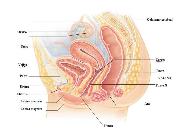 Órganos genitales femeninos, mostrando cada una de sus partes